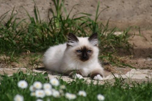 Naissance de 4 chatons Sacré de Birmanie