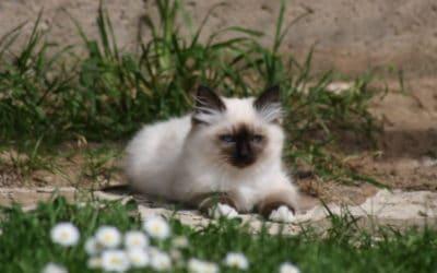 3 chatons Sacré de Birmanie nés le 7 février