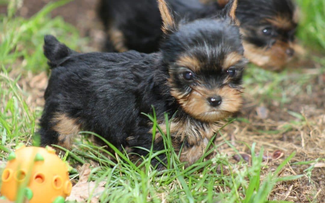 FIN FEVRIER: naissance prévue de  Yorkshire terrier