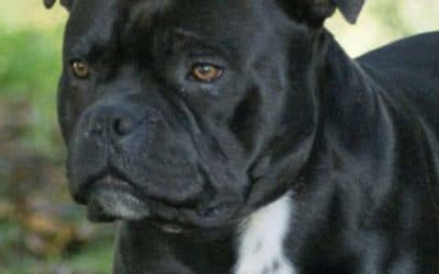Naissance de Staffordshire bull terrier.