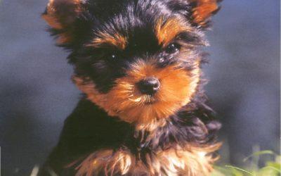 Naissance de 3 femelles Yorkshire Terrier LOF